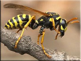 Что делать при укусе осы, как выглядит и чем лечить укус осы
