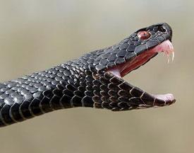 Если укусила змея. Симптомы и первая помощь при укусе змеи