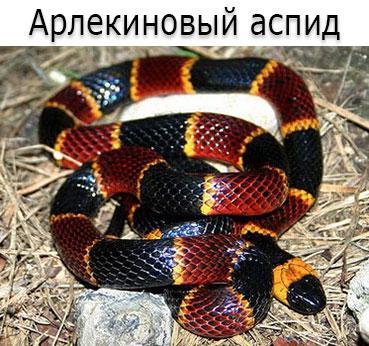 Ядовитая змея - Арлекиновый, или восточный аспид (лат. Micrurus fulvius)