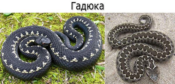 Ядовитая змея - гадюка