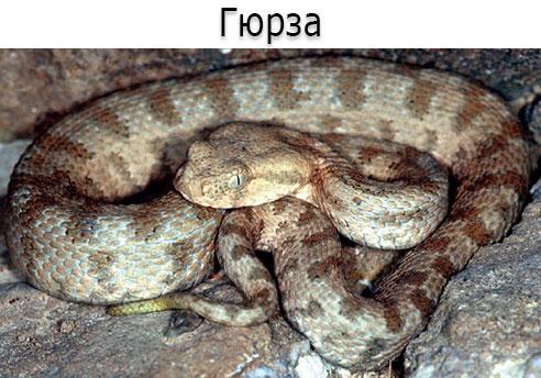 Ядовитая змея - Гюрза