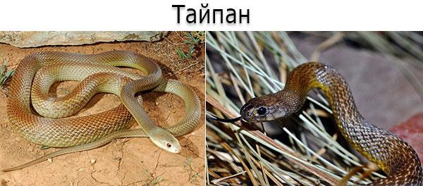 Тайпан (лат. Oxyuranus scutellatus)