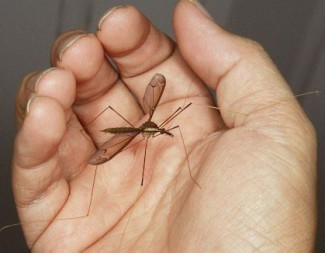 Комары долгоножки, или караморы (лат. Tipulidae)