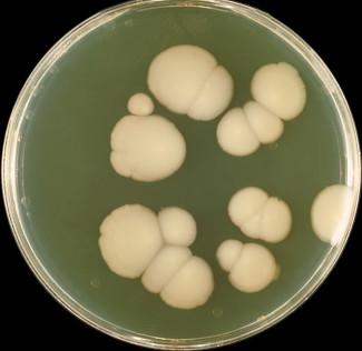 Грибы рода Candida (Кандида) - Candida albicans