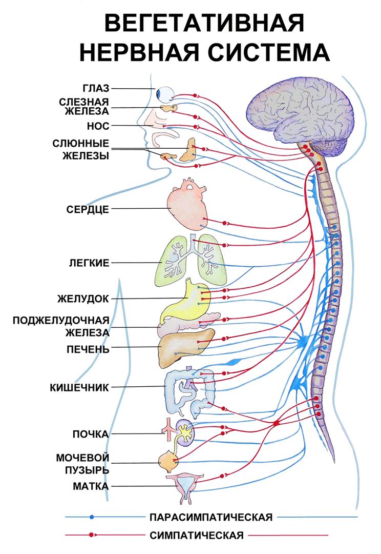 Как работает вегетативная нервная система