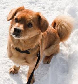 Обморожения у собак