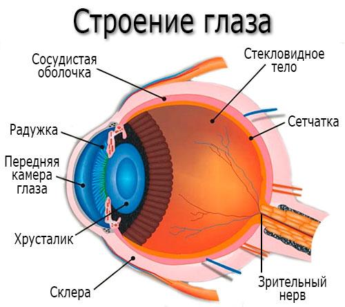 Строение глаза - хрусталик