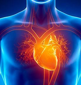 Сердце – основные функции и последствия остановки сердца