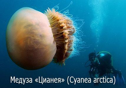 Ядовитые медузы - Цианея (лат. Cyanea arctica, Cyanea capillata)