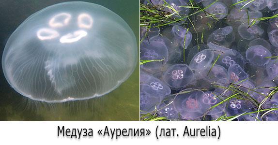 Медузы в Черном море - Аурелии (лат. Aurelia)