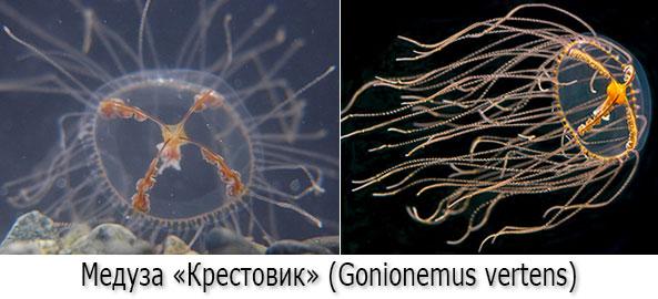 Ядовитые медузы - Медуза-крестовик (гонионема, лат. Gonionemus vertens)