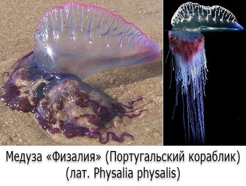 Ядовитые медузы - Физалия (Португальский кораблик)