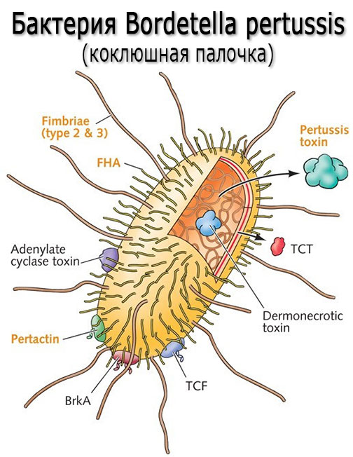 Причины коклюша. Возбудитель коклюша – бактерии Bordetella pertussis (коклюшная палочка, бактерия Борде-Жангу)