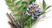 Солодка – полезные свойства, применение, противопоказания и лечение корнем солодки
