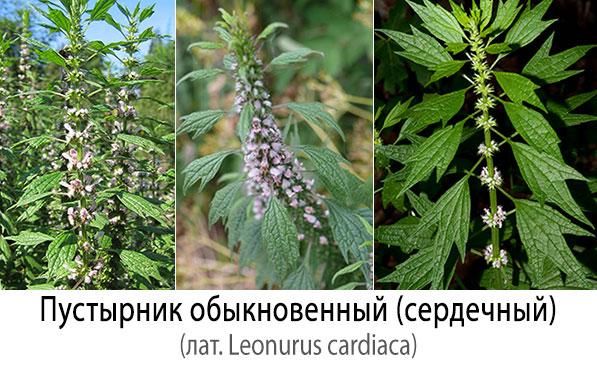 Пустырник обыкновенный (сердечный - лат. Leonurus cardiaca)