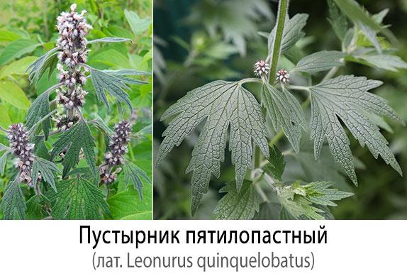 Пустырник пятилопастный (лат. Leonurus quinquelobatus)