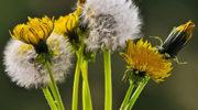Одуванчик – полезные свойства, противопоказания и лечение одуванчиком
