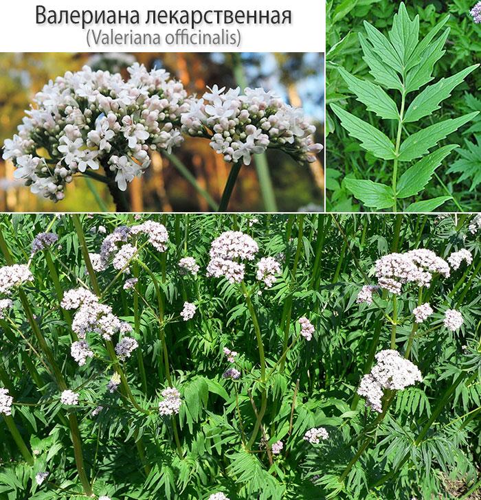 Валериана лекарственная (лат. Valeriana officinalis)