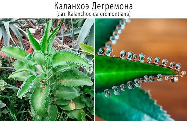 Каланхоэ Дегремона (или Дайгремонта, лат. Kalanchoe daigremontiana)