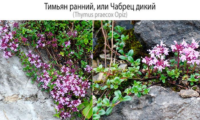 Тимьян ранний, или чабрец дикий (Thymus praecox Opiz)