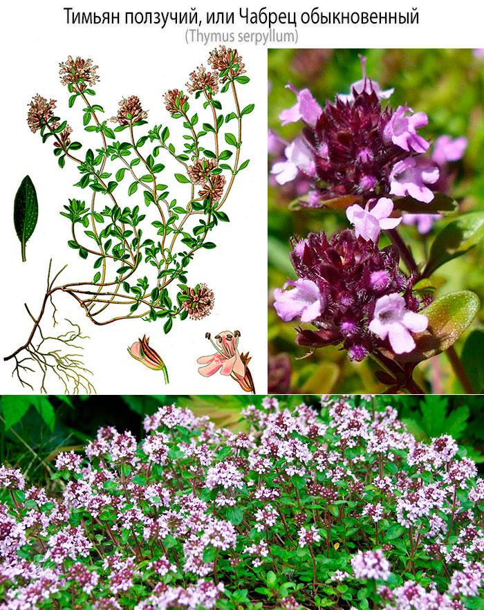 Тимьян ползучий или чабрец обыкновенный (Thymus serpyllum)
