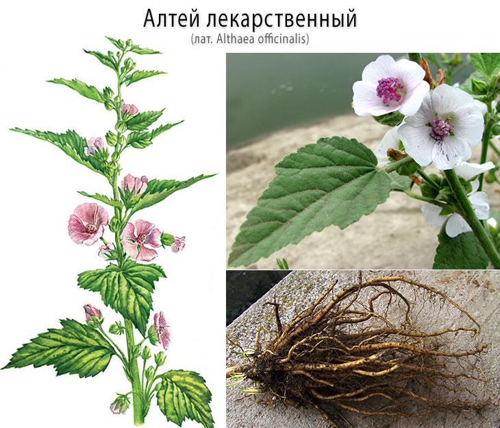 Алтей лекарственный (лат. Althaea officinalis) - состав, польза и вред