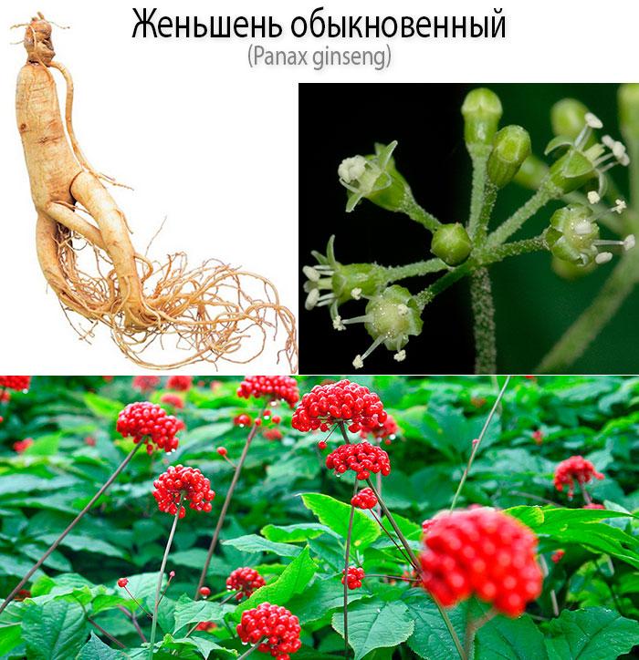 Женьшень обыкновенный (Panax ginseng) - польза, вред, применение и рецепты народной медицины