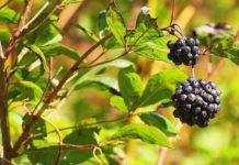 Элеутерококк — польза, вред, применение, рецепты лечения