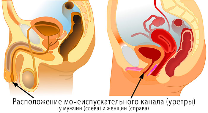 Уретра у мужчин и женщин