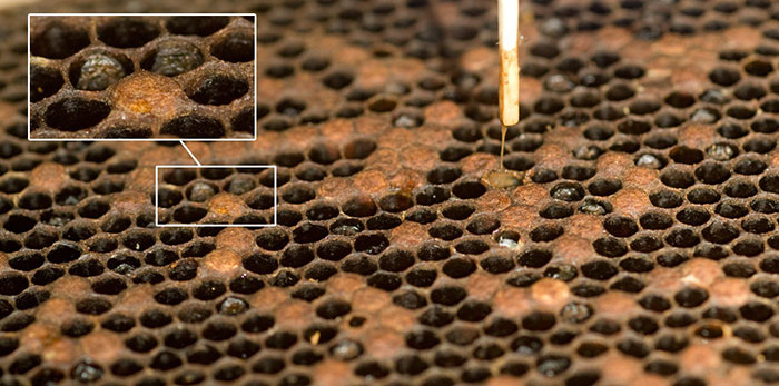 Лечебные свойства прополиса и вред прополиса
