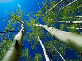 Осина – лечебные свойства, применение, противопоказания и лечение осиной
