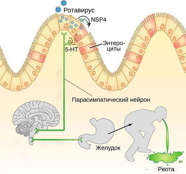 Ротавирусная инфекция - патогенез